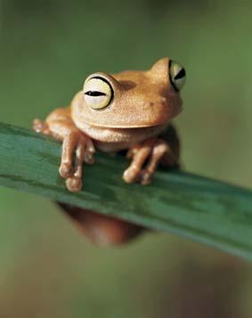 cute tree frog
